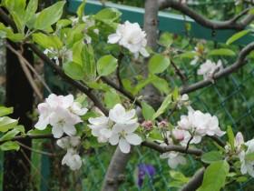 葉山のつつじとりんごの花 010